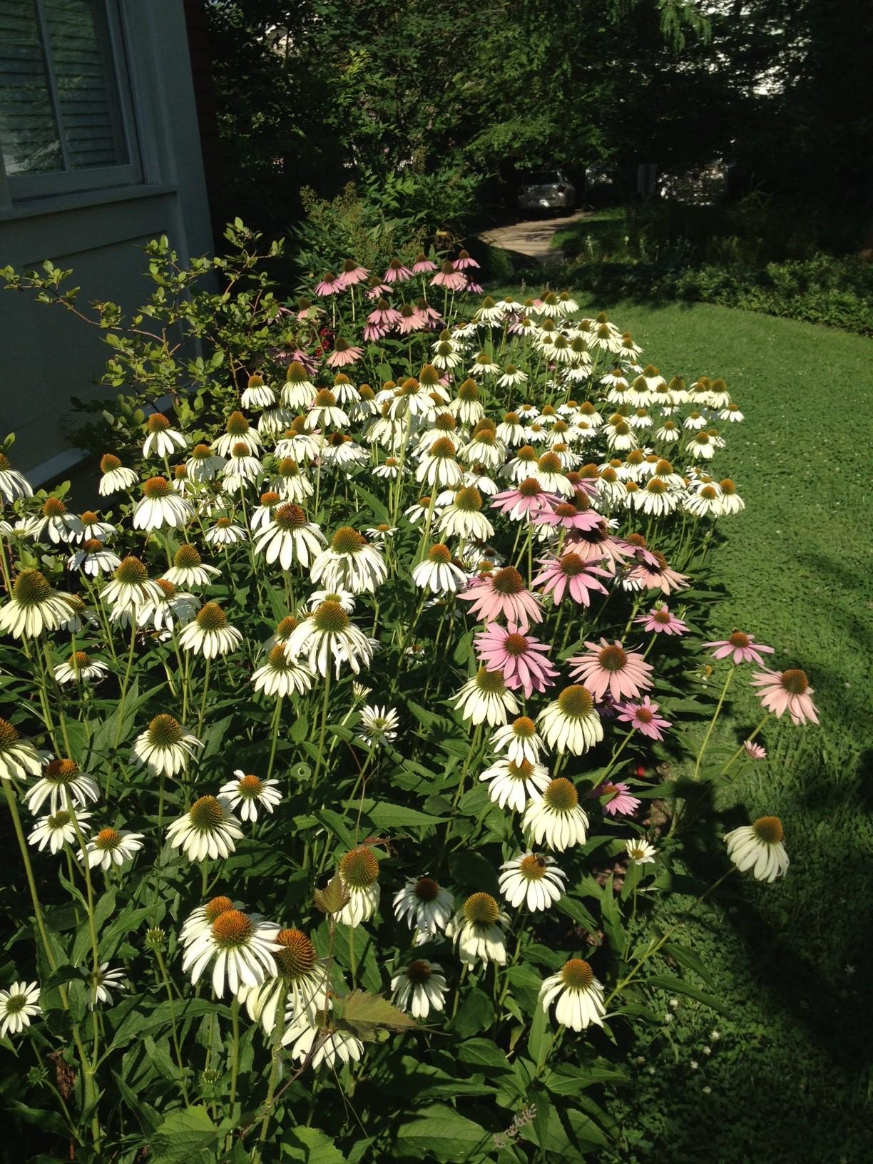 Echinacea border planting