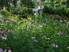 Echinacea Meadow