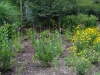 Rain Garden with Flowering Perennials
